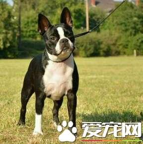 a_波士顿梗犬性格 波士顿梗是一种友善而活跃的狗[新闻]