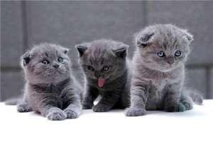 蓝猫容易生病吗?蓝猫常见的疾病有哪些?